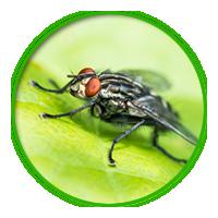 蒼蠅簡介防治