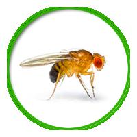 果蠅簡介防治