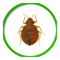 臭蟲簡介防治