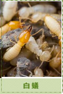 台中除蟲-白蟻