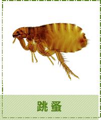 台中除蟲-跳蚤