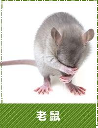 台中除蟲-老鼠