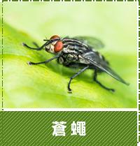 台中除蟲-蒼蠅